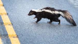 how to get skunk smell out of car